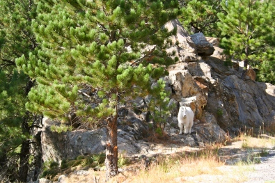 What better way to end the day than with a mountain goat sighting? They are the coolest.