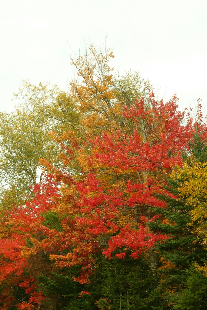 Fiery red leaves really pop against a grey sky, my only consolation for rainy weather