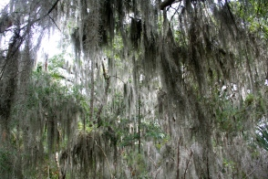 "I knew I was really in the South when I saw the trees covered in gorgeous Spanish Moss! A pamphlet from the state park said they used to stuff it into mattresses, and since there were often chiggers hiding within it it lead to the phrase ""sleep tight, don't let the bedbugs bite!"""