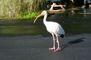 The campground in Key Largo was full of White Ibises who were thankfully not camera shy