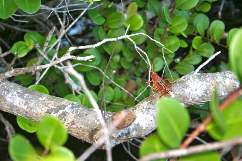Yet another interesting Floridian insect!