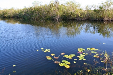 Lily pads floating gracefully on a pond in the Everglades