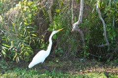 A color morph of the Great Blue Heron, the Great White Heron, exists in Florida, but this might be a Great Egret. What say you, birders?