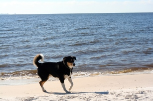 Happy, swimming, frolicking beach dog!