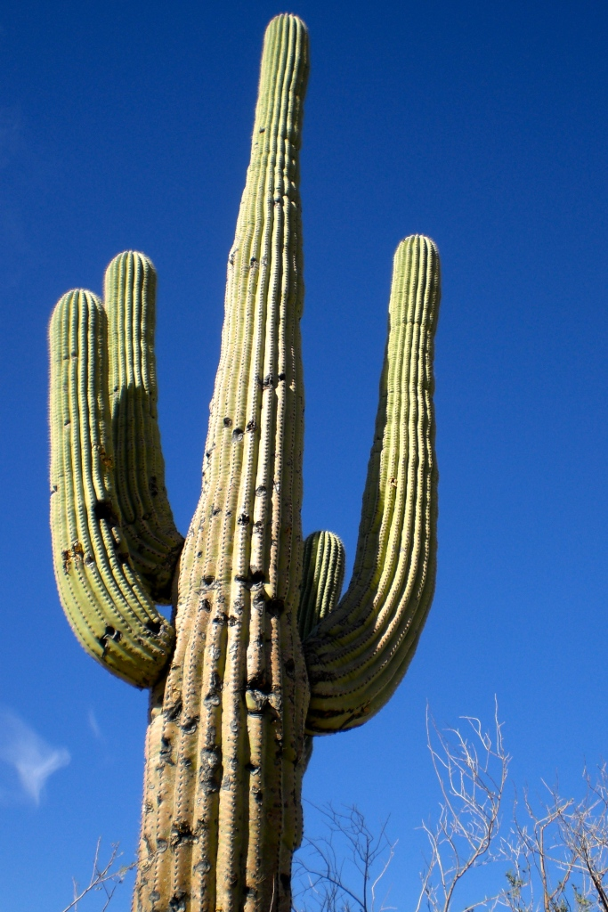 The saguaro's arms don't begin to grow until it is around 75 years old. Crazy!
