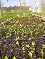 "When the weather turned nice we moved some seedlings outside to ""harden off"" before transplanting."
