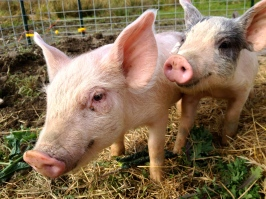 Pigs pigs pigs! PIGS!