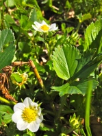 Wahooo!! Strawberries in bloom! Every blossom turns into a berry. I can't wait!