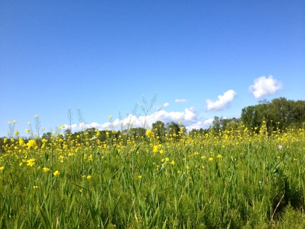These are mostly weeds (wild mustard and horsetail) but they sure look pretty here! Blue skies too!!
