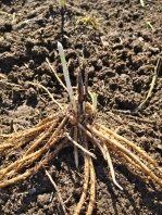 This is an asparagus octopus. We planted 100 crowns...next year we can start to harvest them.