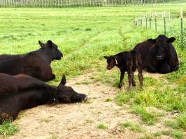 Three expectant cows and one newly born calf!