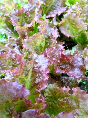 My favorite leafy green so far...Grand Rapids Red. So pretty!