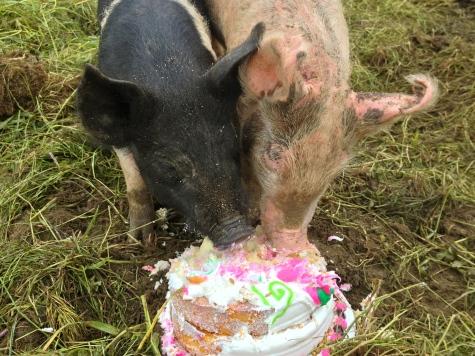 Pigs love cake!