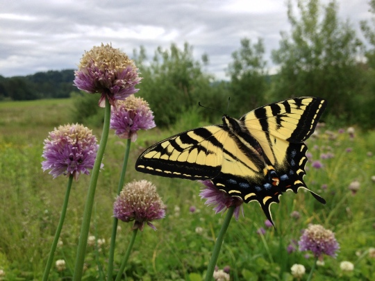 Welcome to my office, where butterflies alight on chive flowers for my enjoyment
