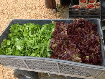 For the first box we harvested butterhead and Grand Rapids Red lettuces