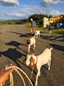Every day we take the goats out and tie them off to weed for us, which keeps them out of our vegetables. Every night we walk them back to their pen. Laney (foreground) is our most difficult and I always get stuck dragging her around!