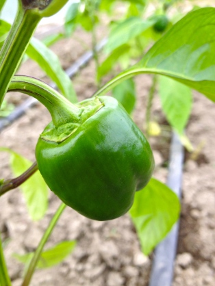 A tiny bell pepper is forming. Squeeee!