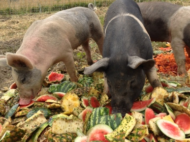 The pigs enjoying their organic juicing scraps