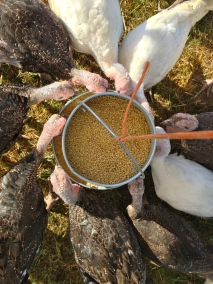 Hungry turkeys, as viewed from above