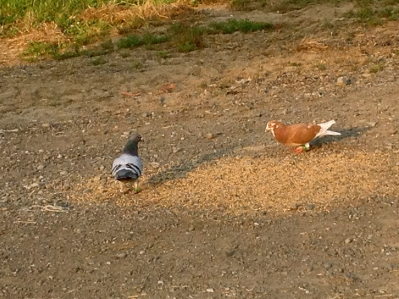 Some beautiful homing pigeons have started hanging around the farm to eat up our spilled grain. I am making it my mission to tame them.