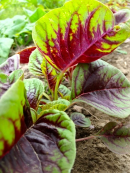 Amaranth is a delicious and beautiful alternative to spinach!