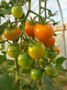 Sun Gold cherry tomatoes are my favoritest. Seriously. Eveyrone should grow them. They taste like candy!