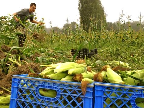 Organic sweet corn!