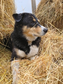 Farm dog glamour shot.