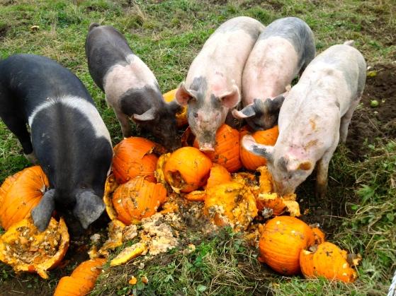 Pigs love pumpkins!