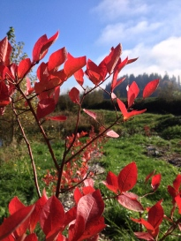 Our blueberry bushes turned a brilliant red before the windstorm whipped the leaves off.