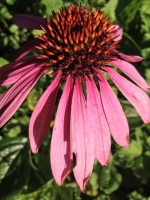 A lone flower. Someone told me it's echinacea.