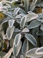 We had one real hard frost, and it happened to be the morning we started our chicken harvest. It made for very cold hands, but beautiful imagery, like this frosty sage.