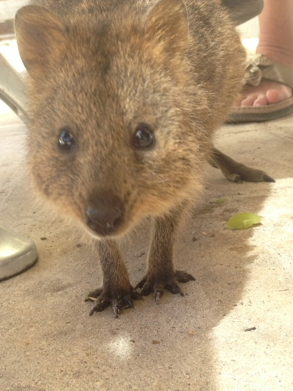 Quokka! The cutest thing you've ever seen! Until he tries to steal your candy (AKA lollies in Aussie speak).