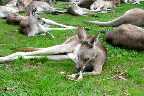 Kangaroos are really good at lounging