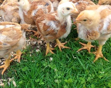 Yay! Chicks love fresh greens too!