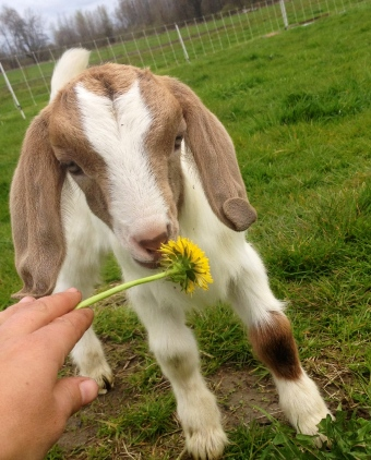 They don't like dandelions, which is a real shame. We have billions.