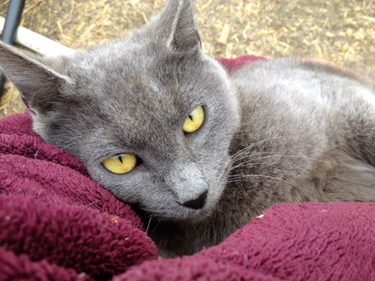 """Grease the """"feral barn cat"""" has turned out to be the cuddliest, most affectionate cat I've ever known. Sometimes he even wraps his paws around my face."""