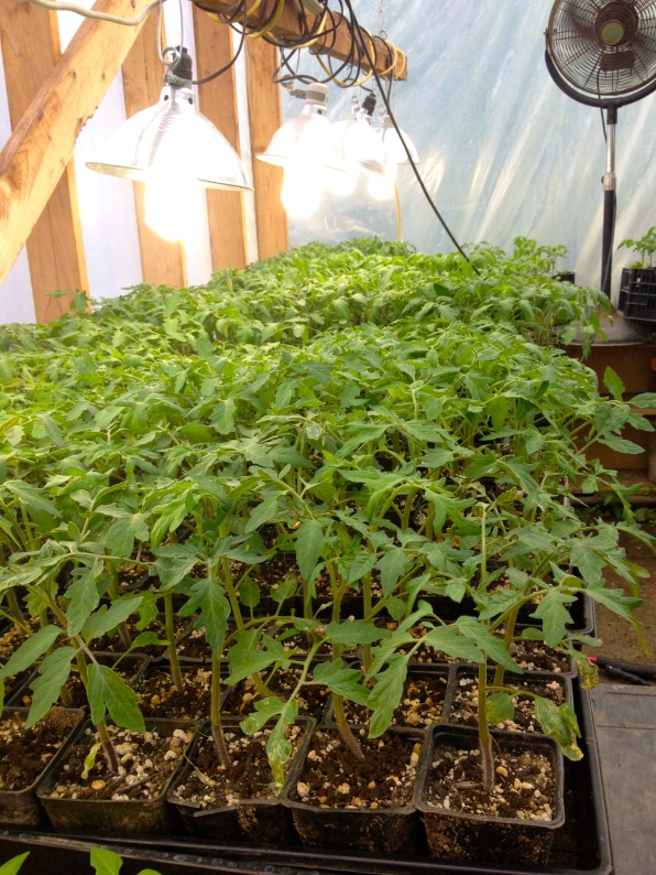 Our tomato forest in the greenhouse is looking good!
