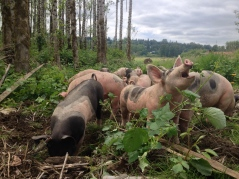 The pigs outgrew their temporary home on the hill and we moved them to an awesome enclosure in the woods behind our house. We've since moved them to a new paddock in the woods. They love the shade from the trees and digging up blackberry plants!
