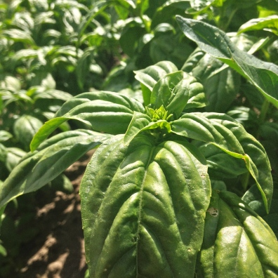 Basil!! I love weeding basil, it smells so amazing.