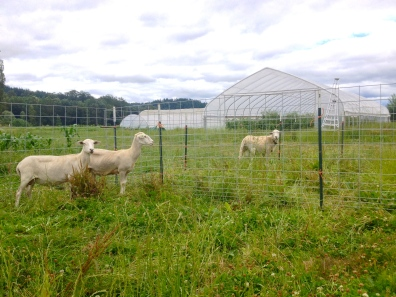 This is our new (tiny) flock of Katahdin sheep! They're hair sheep, which means they don't need to be sheared. We are close to adding six more ewes to our flock, so we should have lambs next spring!