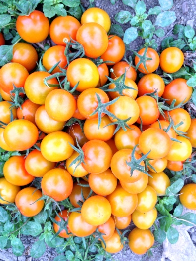 Just a pile of nature's candy, Sun Gold cherry tomatoes. So amazing!!