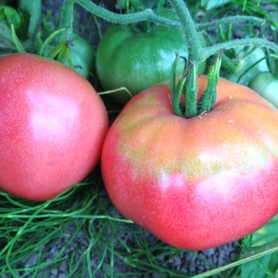 The first of our heirloom tomatoes are ripening up!