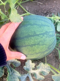 Hey Look! A WATERMELON!!