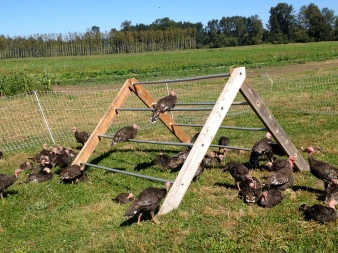Turkeys have been such a challenge this year. I'm thinking we may switch to hardier heritage birds next season.