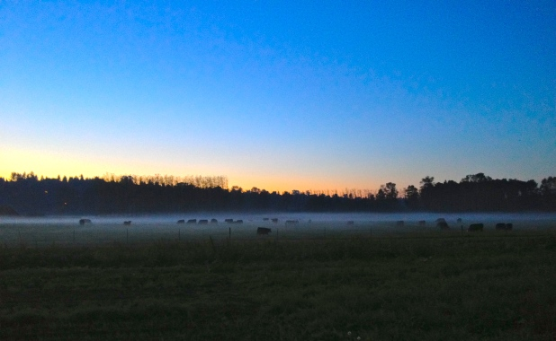 The cows in the mist