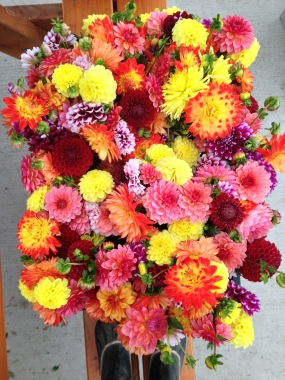 32 bunches of dahlias ready for delivery!