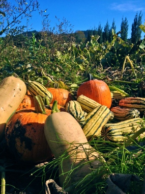 Winter squash is now being harvested and sent out in our CSA boxes