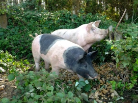 The pigs have moved into a new pen again, and are growing so much. Soon enough we'll have bacon sizzling in our pan once again!