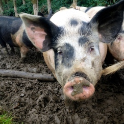 The pigs enjoyed the copious mud these last few weeks.